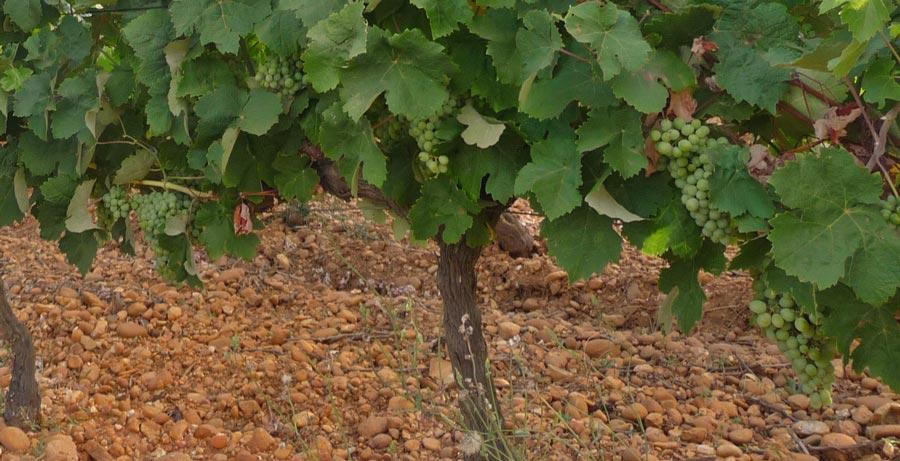 Pied de vigne domaine Terre des Chardons